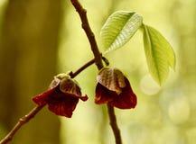 Immagine artistica dei fiori e delle foglie della papaia Fotografia Stock Libera da Diritti