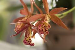 Immagine bella di un genere arancio e giallo stupefacente di orchidea Fotografia Stock