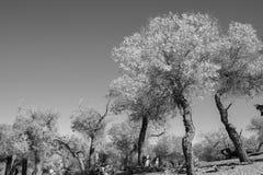 Immagine in bianco e nero degli alberi nella stagione di autunno Fotografia Stock Libera da Diritti