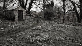 Immagine in bianco e nero dei bucaneve della molla Fotografie Stock Libere da Diritti