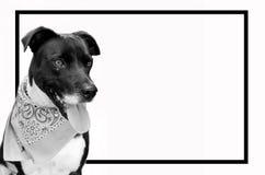 Immagine in bianco e nero del cane di animale domestico con la struttura nera Cucciolo sveglio con il bandanna sopra Fotografia Stock