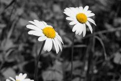 Immagine in bianco e nero e gialla dei fiori della margherita fotografia stock