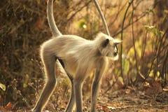 Immagine che caratterizza scimmia in selvaggio Fotografia Stock