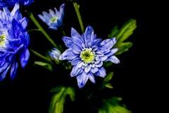 Immagine classica del crisantemo sul nero Fotografie Stock Libere da Diritti