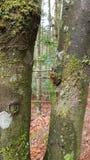 Immagine degli alberi nella foresta bavarese (Germania) Immagini Stock