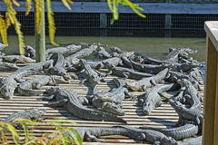Un gruppo di alligatori Fotografia Stock Libera da Diritti