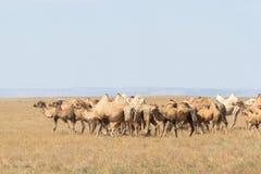 Immagine dei cammelli in steppe del Kazakistan Fotografia Stock Libera da Diritti