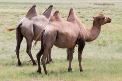 Immagine dei cammelli in steppe del Kazakistan Fotografia Stock