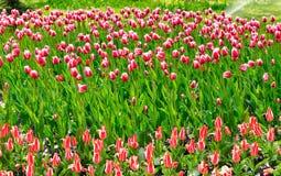Immagine dei fiori dei tulipani nella sosta Immagine Stock Libera da Diritti