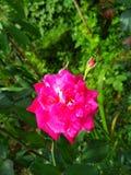 Immagine dei fiori delle rose rosse naturale Fotografie Stock
