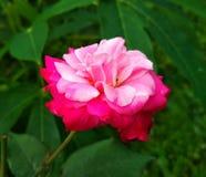 Immagine dei fiori delle rose rosse naturale Immagine Stock