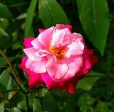 Immagine dei fiori delle rose rosse naturale Immagini Stock Libere da Diritti
