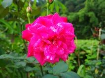 Immagine dei fiori delle rose rosse naturale Fotografie Stock Libere da Diritti