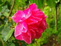 Immagine dei fiori delle rose rosse naturale Immagine Stock Libera da Diritti