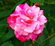 Immagine dei fiori delle rose rosse naturale Fotografia Stock Libera da Diritti