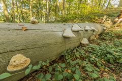 Immagine dei funghi dell'esca su un tronco di albero nella foresta fotografia stock