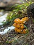 Immagine dei funghi nel primo piano della foresta Fotografia Stock