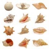 Immagine dei seashells su priorità bassa bianca Immagini Stock Libere da Diritti