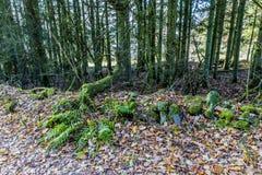 Immagine dei tronchi di albero, delle piante verdi, delle pietre con muschio e delle foglie asciutte fotografie stock libere da diritti