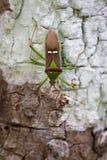 Immagine del bugHemiptera verde del baccello del legume sull'albero insetto Fotografia Stock