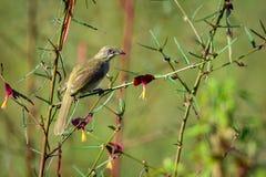Immagine del Bulbul Striscia-eared dell'uccello; Blanfordi di Pycnonotus Immagini Stock