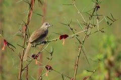 Immagine del Bulbul Striscia-eared dell'uccello; Blanfordi di Pycnonotus Fotografia Stock Libera da Diritti