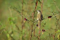 Immagine del Bulbul Striscia-eared dell'uccello; Blanfordi di Pycnonotus sul Fotografia Stock
