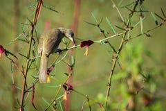 Immagine del Bulbul Striscia-eared dell'uccello; Blanfordi di Pycnonotus sul Fotografie Stock Libere da Diritti