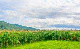 immagine del campo di grano e del cielo nel fondo Fotografia Stock