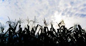 immagine del campo di grano e del cielo nel fondo Immagine Stock