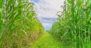 immagine del campo di grano e del cielo nel fondo Immagini Stock