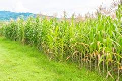 immagine del campo di grano e del cielo nel fondo Immagine Stock Libera da Diritti