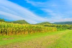 immagine del campo di grano e del cielo nel fondo Immagini Stock Libere da Diritti
