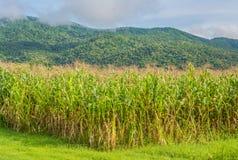 immagine del campo di grano e del cielo nel fondo Fotografie Stock