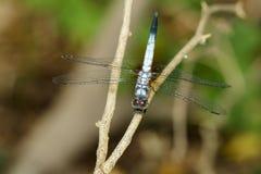 Immagine del chalybea blu di Brachydiplax della farfalla del dasher immagini stock libere da diritti