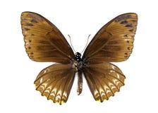 Immagine del clytia comune di Butterfly Chilasa del mimo Immagini Stock Libere da Diritti