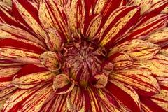 Immagine del crisantemo Immagini Stock Libere da Diritti