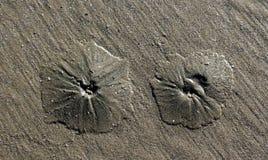 Immagine del dollaro di sabbia sulla spiaggia Fotografia Stock