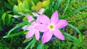 Immagine del fondo rosa-chiaro dei fiori/della progettazione romantica del fiore Fotografia Stock