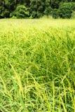 Immagine del giacimento del riso in Tailandia Fotografie Stock Libere da Diritti