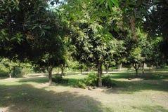 Immagine del giardino dell'albero di mango dell'India Fotografia Stock Libera da Diritti