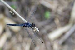 Immagine del glaucum blu comune di dragonflyOrthetrum della scrematrice immagine stock libera da diritti