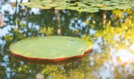 Immagine del loto di Victoria del gigante in acqua, Victoria waterlily, ama immagini stock libere da diritti