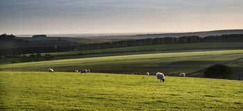 Immagine del paesaggio di Beauitful degli agnelli e delle pecore neonati della primavera nella f Fotografia Stock Libera da Diritti