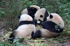 Immagine del panda gigante nei precedenti della natura Fotografia Stock