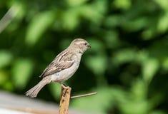 Immagine del passero sul fondo della natura Immagine Stock Libera da Diritti