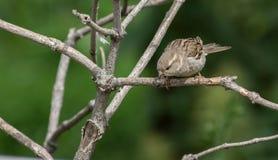 Immagine del passero sul fondo della natura Immagine Stock