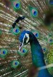 Immagine del pavone Fotografia Stock Libera da Diritti