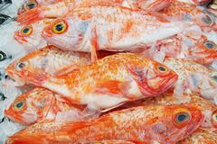 Immagine del pesce persico del priacanto su esposizione al supermercato Fresco chi immagine stock libera da diritti
