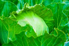 Immagine del primo piano dei cavoli verdi in un orto Fotografia Stock Libera da Diritti